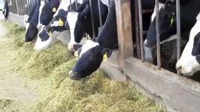 Play video: Electricity from cow manure