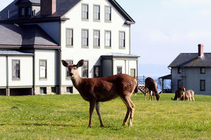 Fort Flagler State Park has about 20 resident deer that often feed on the lawn by the 12-bed hospital completed in 1905. The building at far right is one of those rented as vacation housing.