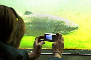 A visitor gets an up-close photo of a big salmon passing through the fish ladder at the Ballard Locks.