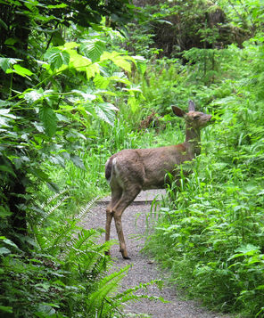 A deer nibbles greenery along a park trail.