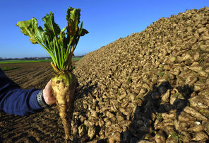 An unaltered sugar beet, seen in the French town of Lilliers.