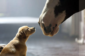 "This commercial for Anheuser-Busch shows the company's 2014 Super Bowl commercial entitled ""Puppy Love"". The ad ran in the fourth quarter of the game."